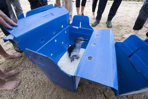آزاد کردن یک بچه پنگوئن در ساحل سیدنی پس از معالجه در یک کلینیک