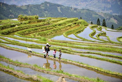 شالیزارهای برنج – چین
