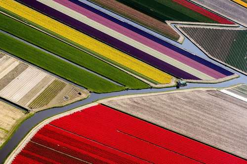 زمینهای گل در هلند/ عکس:EPA