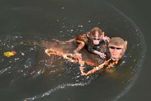 شنا کردن یک میمون با فرزندش در رود یامونا هند