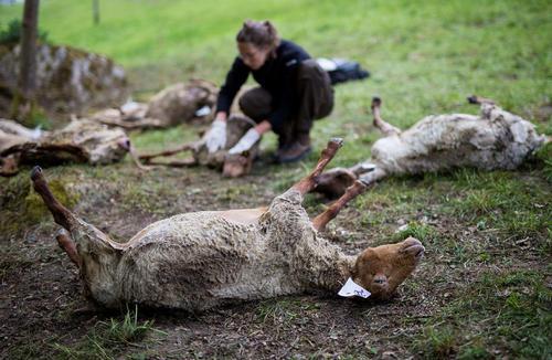 گوسفندان تلف شده پس از حمله گرگها به یک گله گوسفند- آلمان