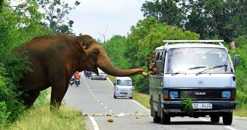 گردشگران در حال میوه دادن به یک فیل در جاده