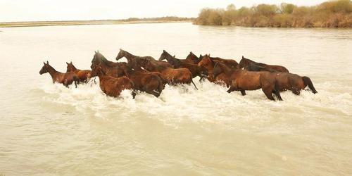 عبور گله اسب وحشی از عرض رودخانه