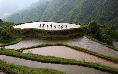 کشاورزان شالیکار – چین