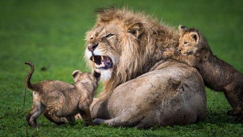 بازی دو توله شیر با پدر خشمگینشان/ عکس روز وب سایت