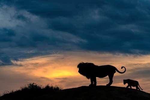 شیر در کشور آفریقایی تانزانیا
