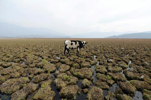 یک گاو در زمین زیر آب گرفته- شیلی