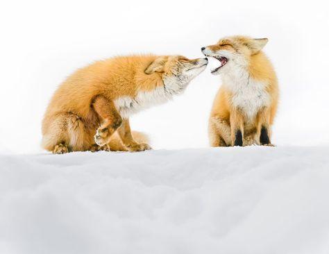 بازی روباه ها در برف در جزیره