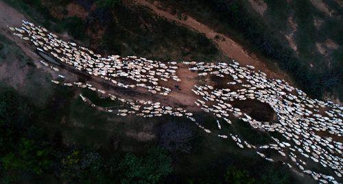 یک گله گوسفند در ویتنام- عکس روز وب سایت