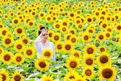 گرفتن عکس در مزرعه گل آفتابگردان- چین