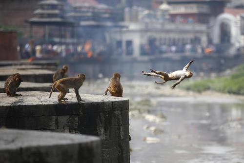 میمونهای بازیگوش داخل معبدی در کاتماندو نپال