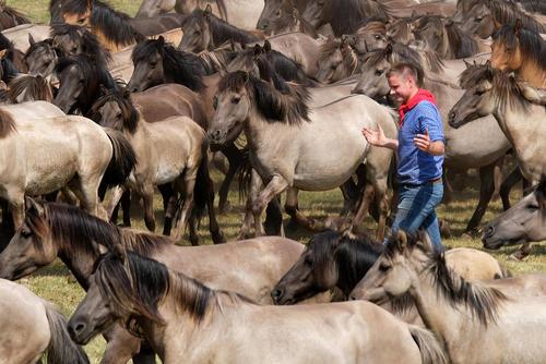 یک رامکننده اسب در بین گروهی از اسبهای وحشی نوجوان- آلمان