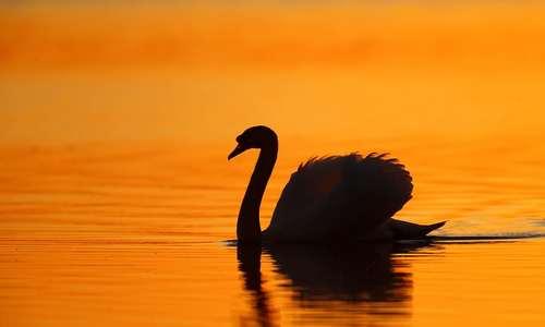 شنای یک قو در غروب آفتاب و در دریاچهای در نزدیکی شهر