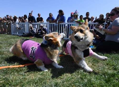 عبور از خط پایان در مسابقه دو سرعت سگهای خانگی- کالیفرنیا آمریکا