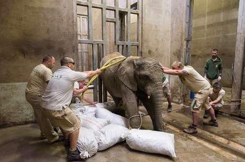 آماده کردن یک بچه فیل 3 ساله برای جراحی عاج شکسته در باغ وحشی در مجارستان
