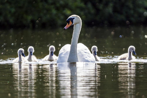 شنای قوها در دریاچه پارکی در یورکشایر بریتانیا