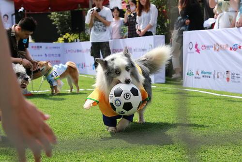 جام جهانی فوتبال سگها در پکن