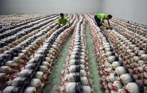 بستهبندی کودهای قارچ برای ارسال به کشاورزان در چین/ عکس: شینهوا