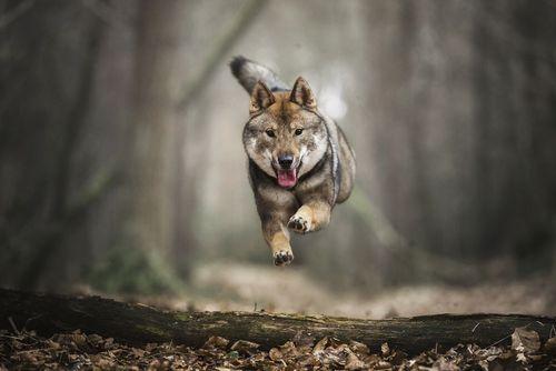 دویدن یک سگ در جنگلی در هلند/ عکس روز وب سایت