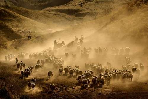 عبور گله گوسفندان از کوه