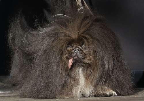 مسابقه بین المللی انتخاب زشت ترین سگ دنیا