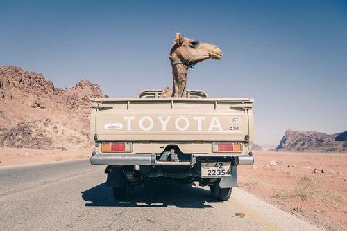 انتقال یک شتر با وانت در اردن/ عکس روز وب سایت