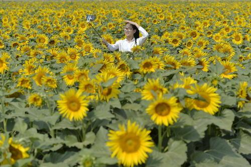 سلفی گرفتن در یک مزرعه گل آفتابگردان- چبن
