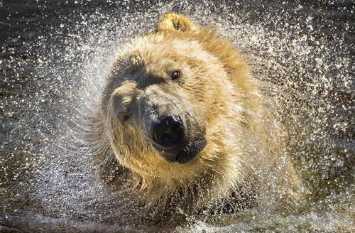 شنای خرس قطبی در پارک وحش یورکشایر بریتانیا