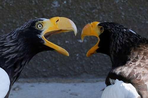 عقابهای باغ وحشی در کراسنویارسک روسیه/ رویترز