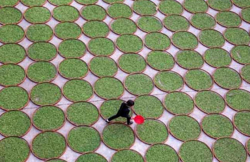 خشک کردن چای در فوجیان