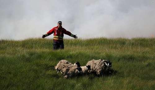 دور کردن گله گوسفند از محل آتش سوزی جنگلی در ریوینگتون بریتانیا/ رویترز