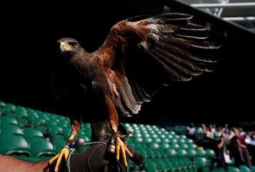 حاشیههای مسابقات تنیس ویمبلدون در بریتانیا