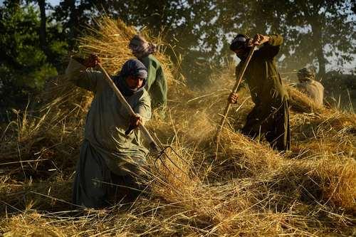 درو گندم در استان هرات افغانستان/ خبرگزاری فرانسه