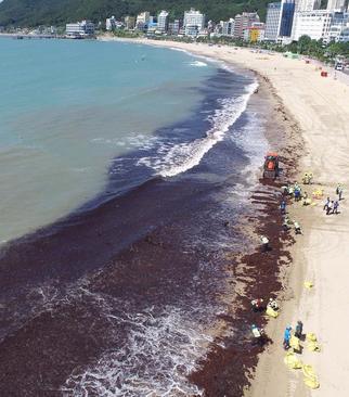 جمعآوری تودههای عظیم جلبک دریایی از ساحل شهر بندری بوسان کره جنوبی/ یونهاپ