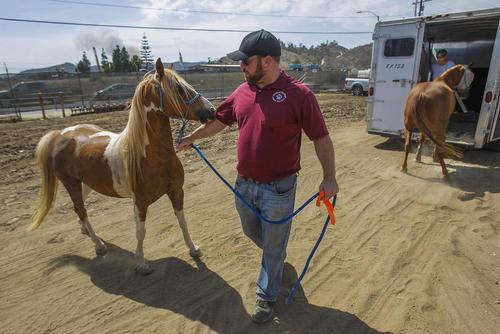 انتقال کره اسب ها برای در ایمن ماندن از آتش سوزی جنگلی در منطقه آلپاین کالیفرنیا آمریکا
