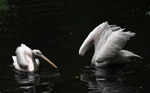 شنای دو پلیکان در استخر باغ وحشی در آلمان