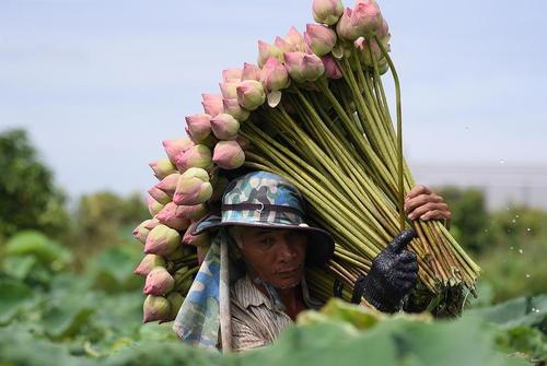 برداشت گل نیلوفر آبی در تایلند