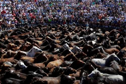 جشنواره سالانه اسبهای وحشی در اسپانیا/ رویترز