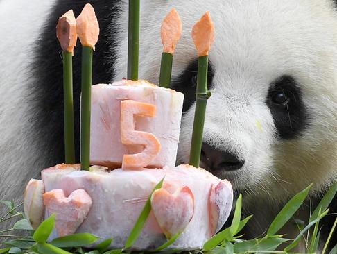 جشن تولد 5 سالگی پاندای باغ وحش برلین/ خبرگزاری آلمان