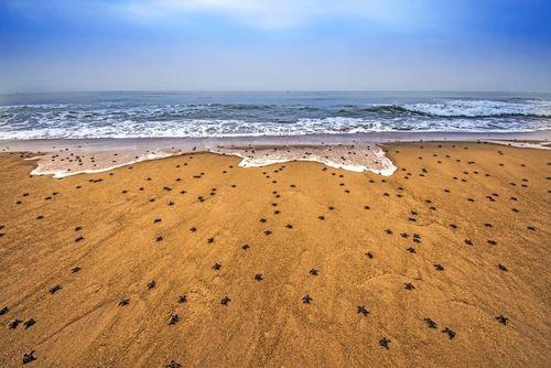 بچه لاکپشتهای از تخم درآمده در حال ورود به اقیانوس هند/ ساحل