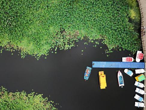 تصویری هوایی از یک استخر مملو از گل نیلوفر آبی در شنیان چین