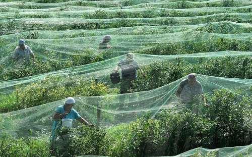 برداشت میوه بلوبری از مزرعهای در بلاروس/ ایتارتاس