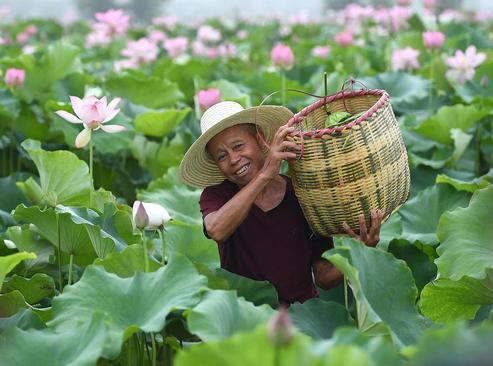 چیدن گل نیلوفر از مزرعهای در چین