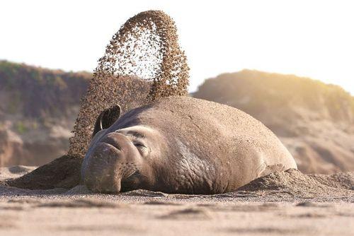 استراحت یک فیل دریایی در ساحل
