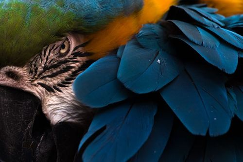 طوطی دمبلند آمریکای جنوبی در یک مرکز حیات وحش در کالیفرنیا آمریکا/عکس روز وب سایت