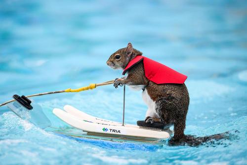 سنجاب در حال اسکی روی آب – مینیاپولیس ایالت مینهسوتا آمریکا