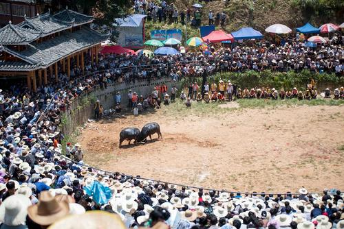 روستاییان چینی در حال تماشای نبرد دو گاو در جریان یک جشنواره گاوبازی