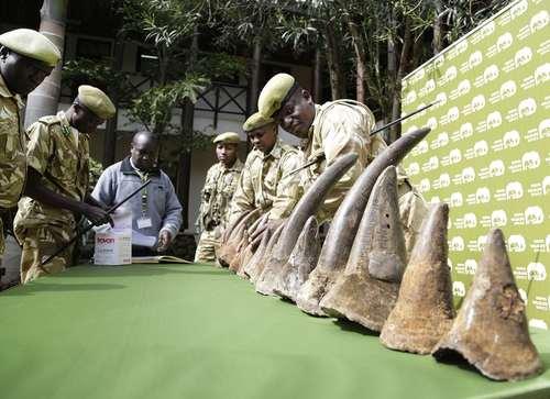 نمایش عمومی عاجهای 9  کرگدن مُرده در نایروبی کنیا/ آسوشیتدپرس