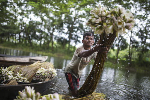 جمع آوری گل نیلوفرآبی – داکا بنگلادش