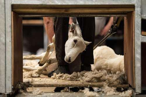 تراشیدن پشم  گوسفندان / بریتانیا/ خبرگزاری فرانسه